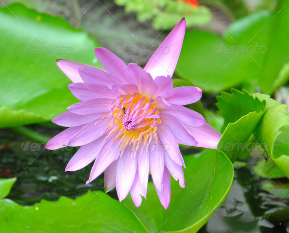 Blooming pink lotus flower - Stock Photo - Images