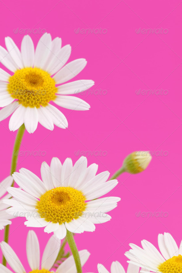 Daisy flower on pink background - Stock Photo - Images