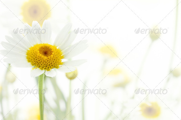 Daisy flower in white soft background - Stock Photo - Images