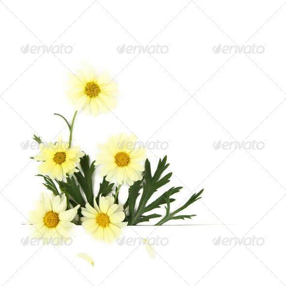 Daisy flowers on white background - Stock Photo - Images