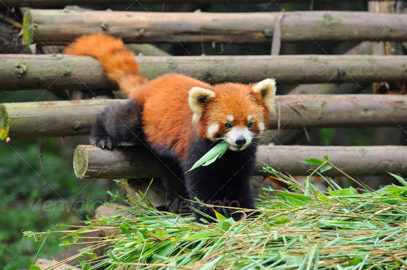 Red panda eating banboo - Stock Photo - Images