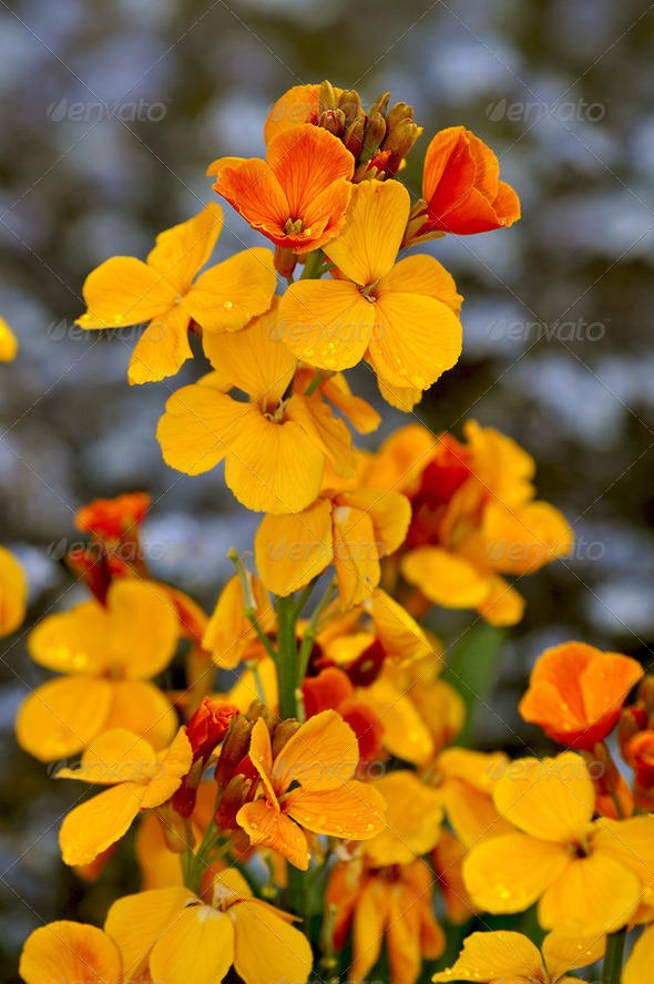 Yellow stock flowers - Stock Photo - Images