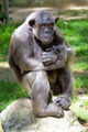 Closeup of chimpanzee (Pan troglodytes) - PhotoDune Item for Sale