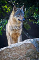 Iberian wolf - PhotoDune Item for Sale