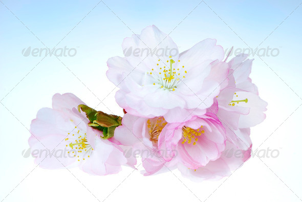 Cherry Blossoms - Stock Photo - Images