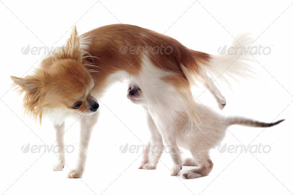 chihuahua and siamese kitten - Stock Photo - Images