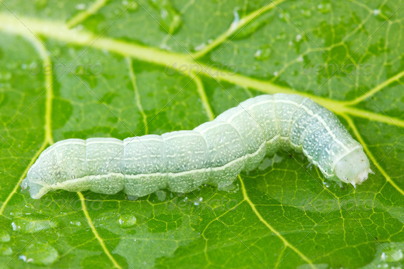 Caterpillar Crawling On A Wet Leaf - Stock Photo - Images