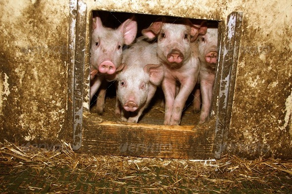 piglets in the barn - Stock Photo - Images