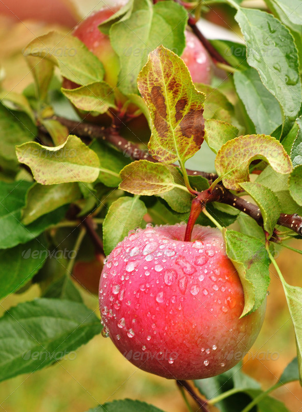 Apple with Raindrops - Stock Photo - Images