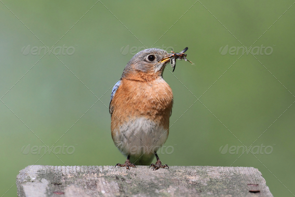 Eastern Bluebird - Stock Photo - Images