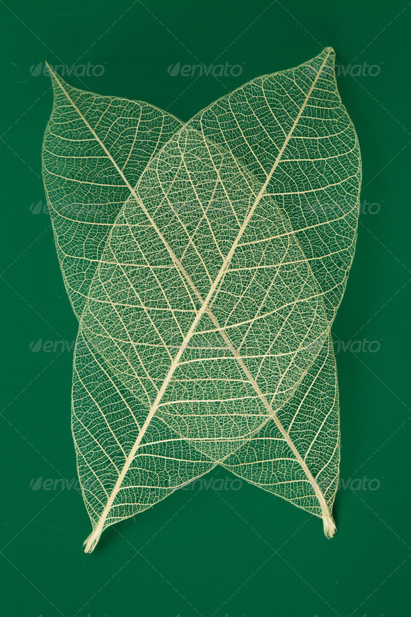 Dry transparent leaf - Stock Photo - Images