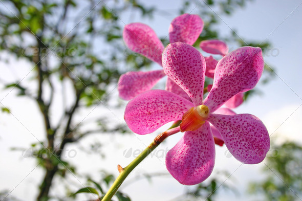 Pink Flowers Orchid - Stock Photo - Images