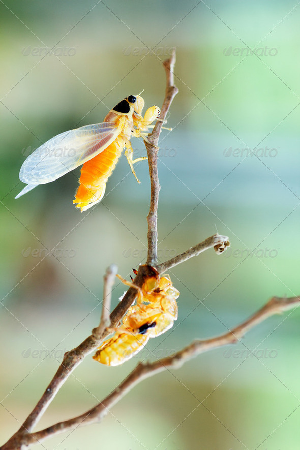 cicada - Stock Photo - Images