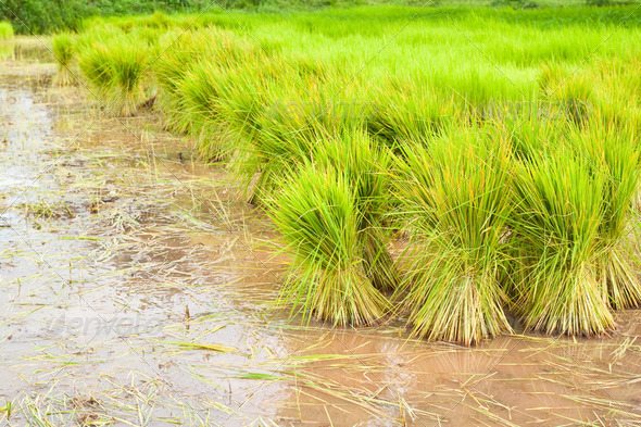 paddy rice in field - Stock Photo - Images