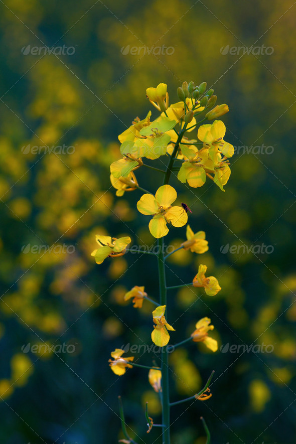 rapeseed blossom - Stock Photo - Images