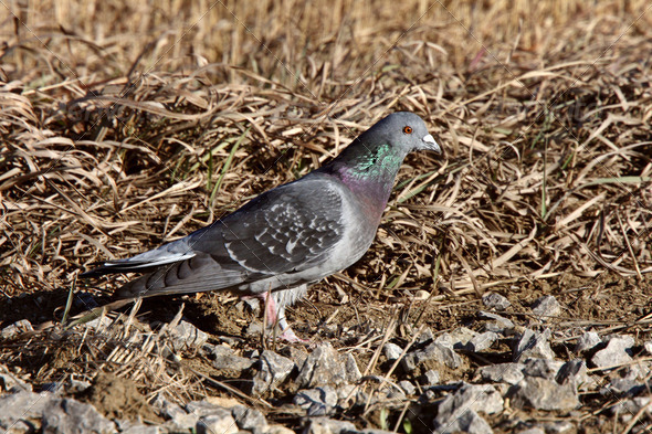 Pigeon on ground in fall - Stock Photo - Images