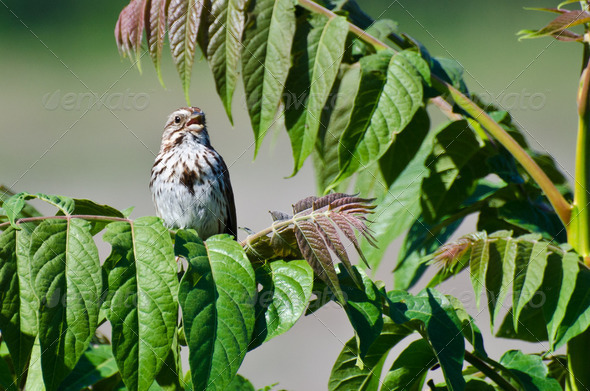 Singing Song Sparrow - Stock Photo - Images