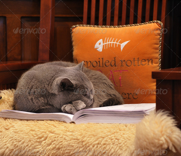 Spoiled Rotten Cat - Stock Photo - Images