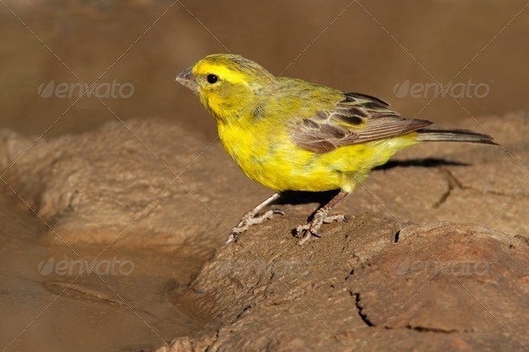 Yellow canary - Stock Photo - Images