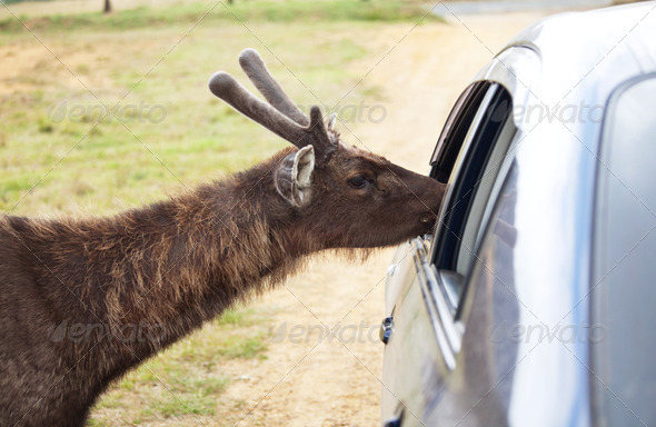 Deer near car - Stock Photo - Images