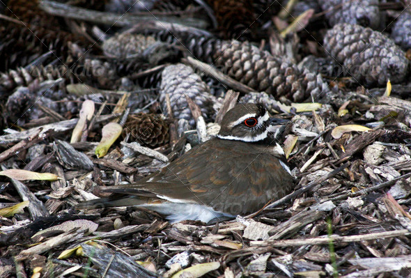 nesting killdeer - Stock Photo - Images