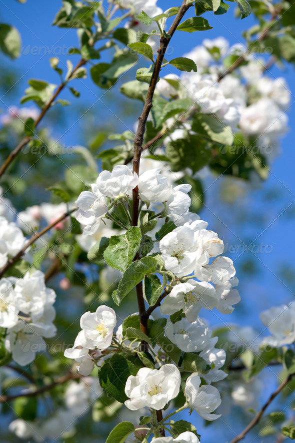 Flowers Blooming Apple Tree - Stock Photo - Images