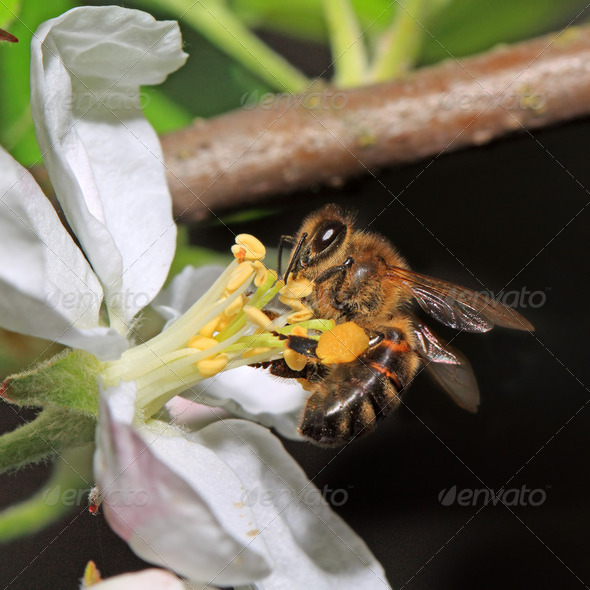yellow wasp on aple tree flower - Stock Photo - Images