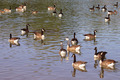 wild geese - PhotoDune Item for Sale