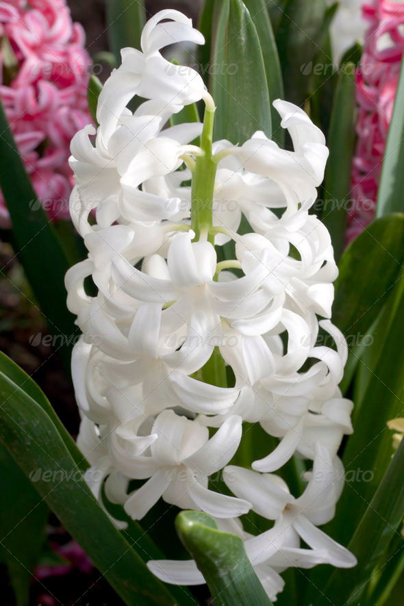 White pearl hyacinths - Stock Photo - Images