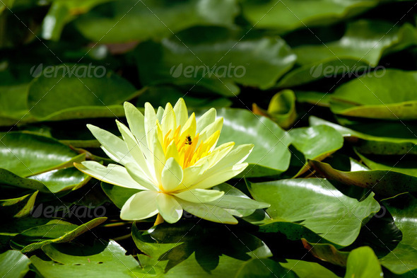 Yellow Water Lily - Stock Photo - Images