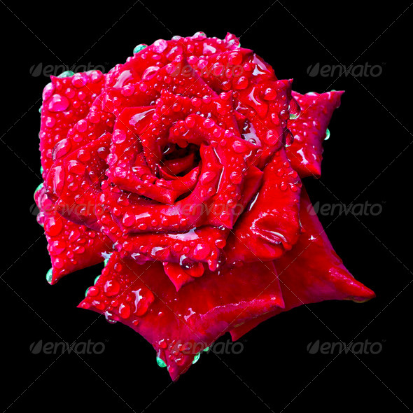 a blooming red rose bud in the drops of water - Stock Photo - Images