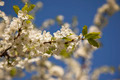 Spring blooming white cherry on the sky background - PhotoDune Item for Sale