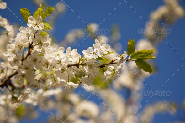 Spring blooming white cherry on the sky background - Stock Photo - Images