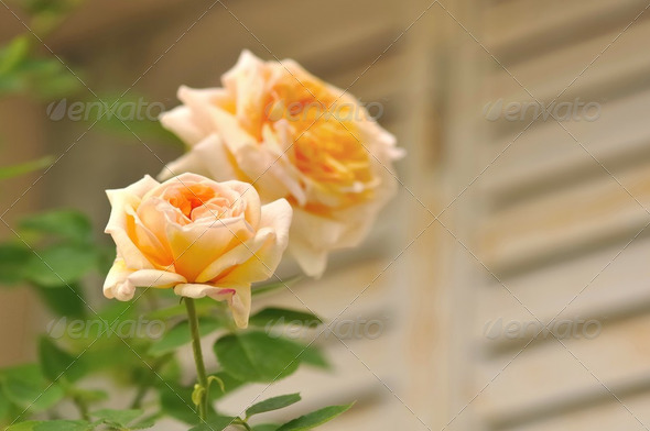romantic rose - Stock Photo - Images