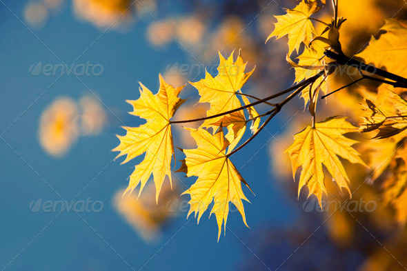 Yellow leaves in autumn sunny morning - Stock Photo - Images