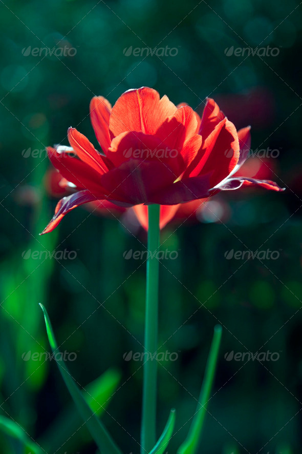 Red tulip in sunny day. - Stock Photo - Images