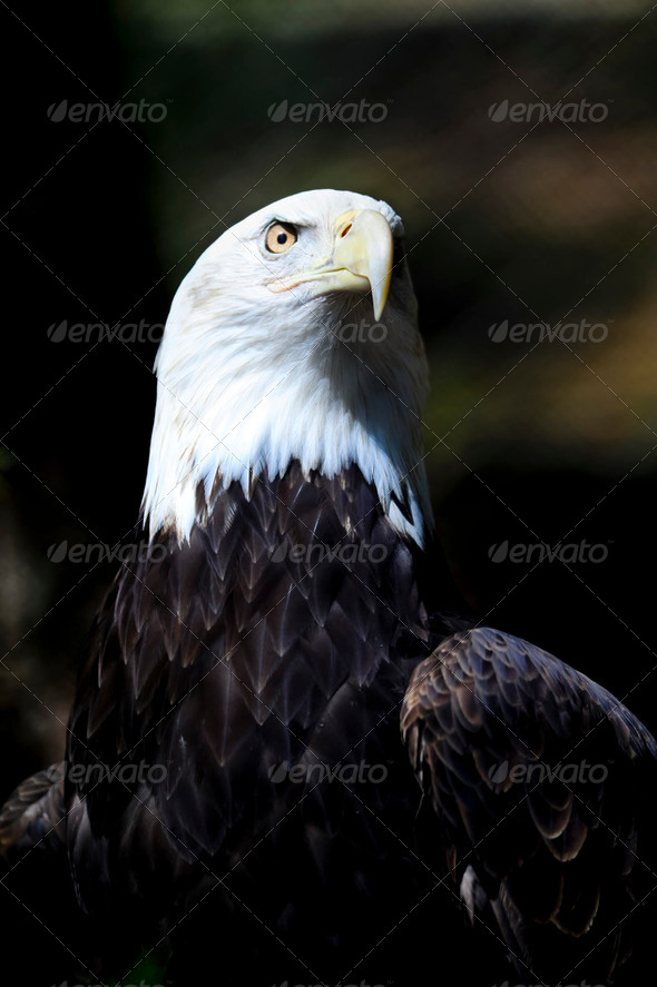 American Bald Eagle - Stock Photo - Images