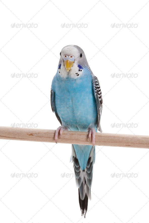 blue budgie - Stock Photo - Images