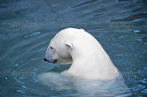 White polar bear in water - Stock Photo - Images
