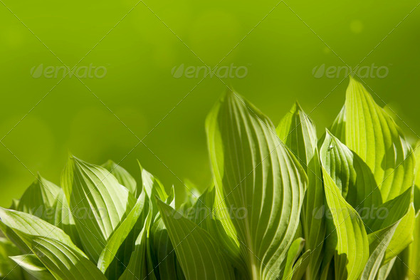 Green leaves in spring  sunny morning - Stock Photo - Images