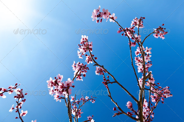Almond tree in full bloom - Stock Photo - Images
