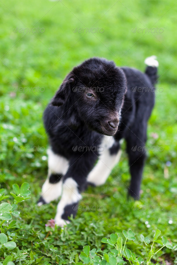 Baby goat in a grass field - Stock Photo - Images