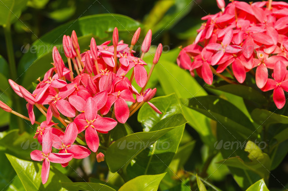 Red Ixora flower - Stock Photo - Images