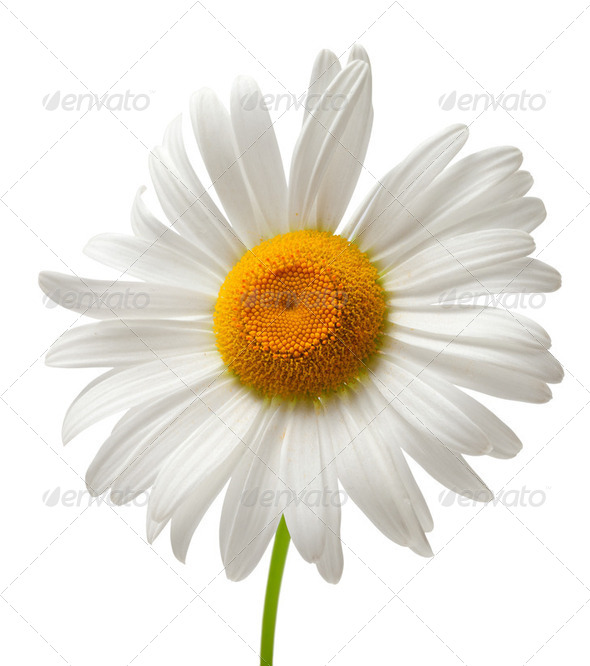 Chamomile isolated on white background - Stock Photo - Images