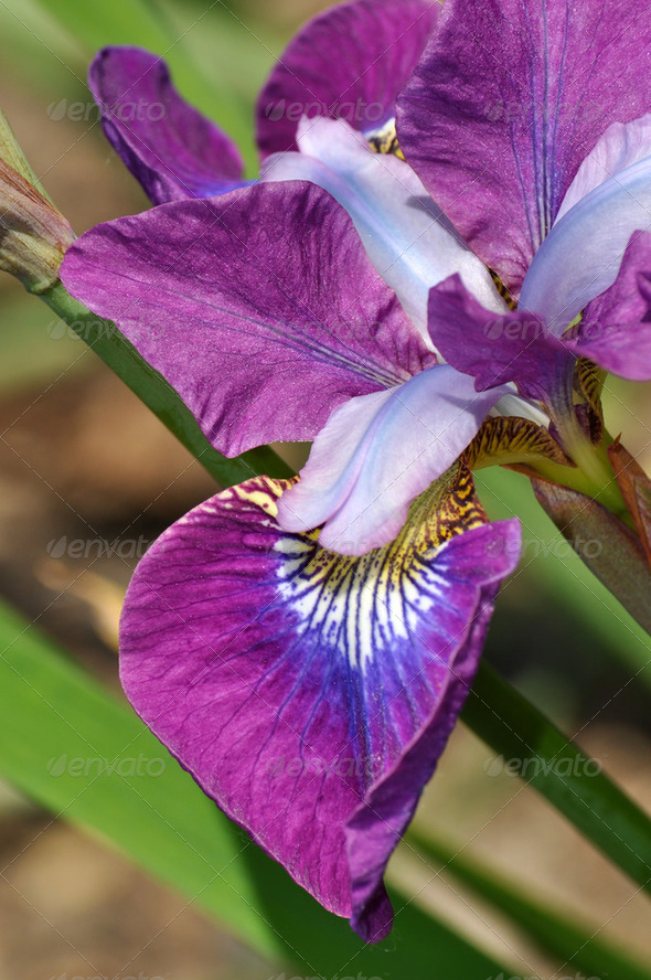 Purple iris close up - Stock Photo - Images