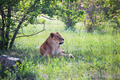 Lion - PhotoDune Item for Sale