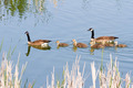 Canada Geese Family - PhotoDune Item for Sale