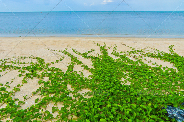 "The "" Ipomoea pes-caprae"" on the beach - Stock Photo - Images"