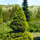 Thuja - PhotoDune Item for Sale