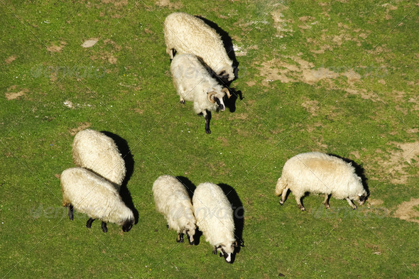 White sheep grazing - Stock Photo - Images